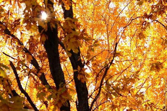 Солнце в ветвях дуба на фоне золотых листьев