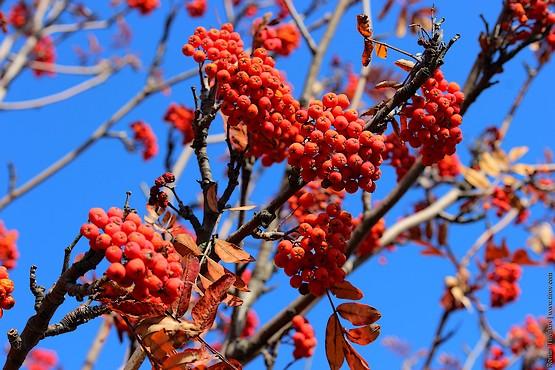 Красные гроздья рябины