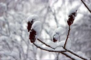 Кисточки уксусного дерева под снегом