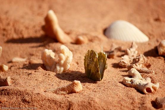 Фотография с кораллами в окружении ракушек на красном песке