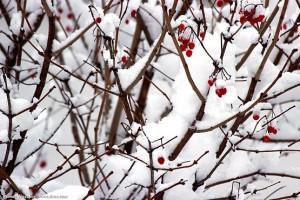 Куст калины с ягодами под снегом