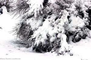 Куст под тяжестью свежего снега