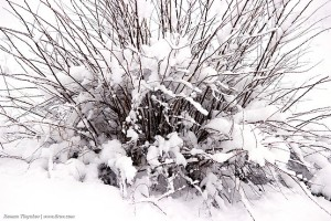 Ветви куста торчат из-под снега