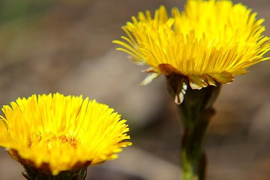 Цветы Мать-и-мачехи в лучах весеннего солнца