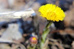 Желтый цветок Мать-и-мачехи в лучах солнца