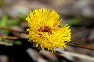 Лепестки цветущей Мать-и-мачехи