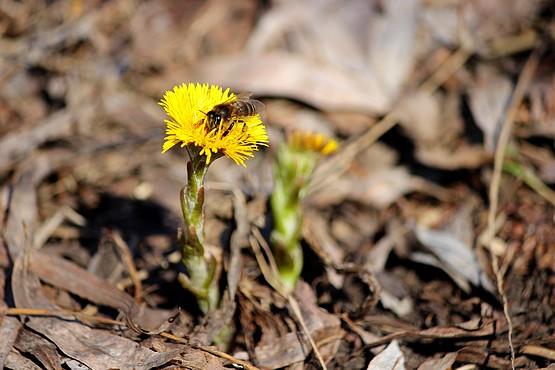 Пчела собирает нектар первых весенних цветов