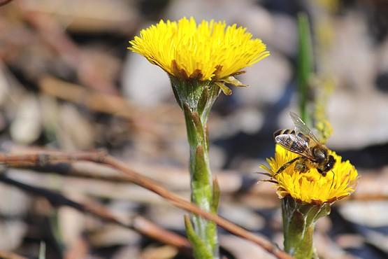 Пчела собирает нектар в цветах Мать-и-мачехи в марте 2015 года