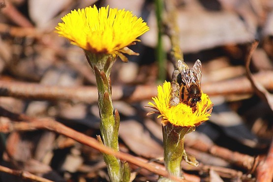 Пчела собирает нектар в цветах Мать-и-мачехи