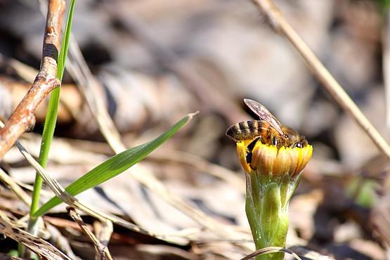 Пчела в пыльце собирает нектар