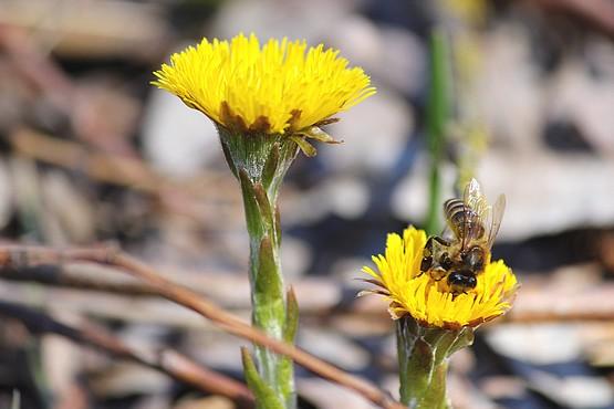 Пчела в пыльце собирает нектар в цветах Мать-и-мачехи