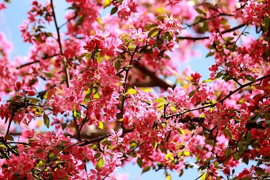 Цветы декоративной яблони