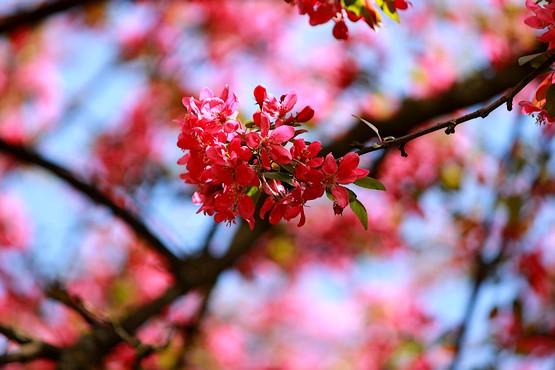 Декоративная яблоня в цвету