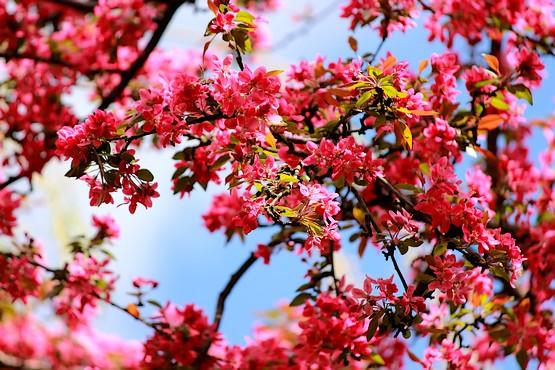 Фотография красивых розово-красных цветов декоративной яблони