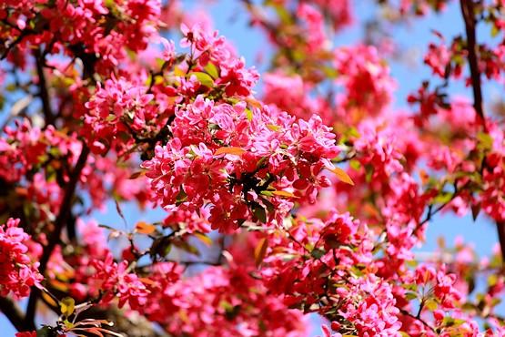 Фотография розово-красных цветов яблони