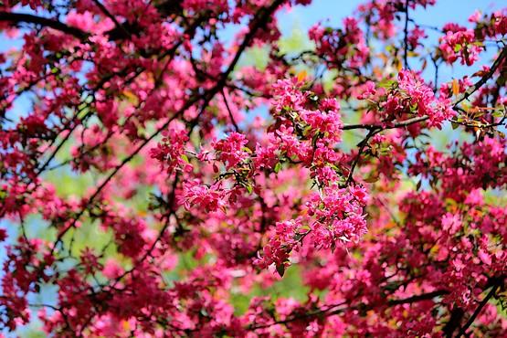 Красивое цветение декоративной яблони