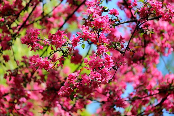 Красивые соцветия декоративной яблони на фоне неба и зелени