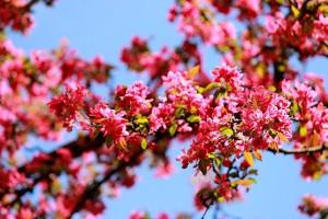 Розово-красные соцветия декоративной яблони