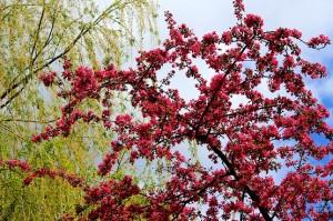 Розово-красные соцветия декоративной яблони на фоне неба