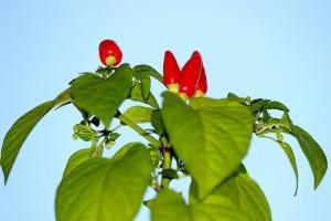 Красный горький перец стремится в небо