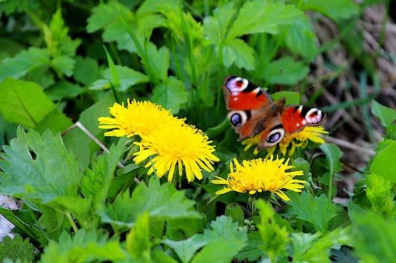 Бабочка наслаждается нектаром одуванчика