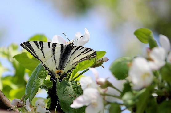 Бабочка наслаждается нектаром яблони