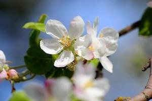 Белые цветы яблони