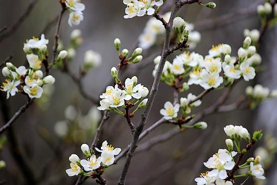 Боярышник цветёт
