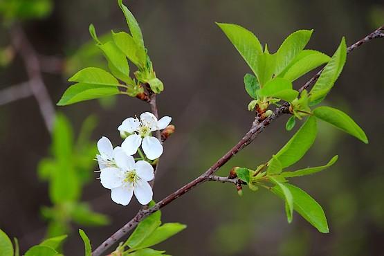 Цветущая веточка вишни