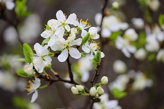 Цветы вишни в апреле