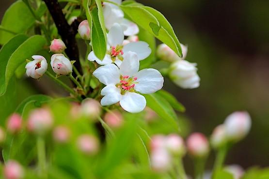 Красивые цветы дикой груши