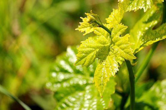 Нежно зелёный лист винограда