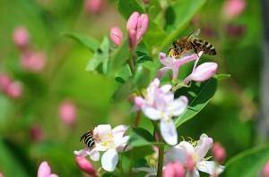 Пчела собирает нектар в цветах жимолости