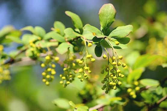 Веточка барбариса за миг до цветения