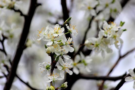 Вишня в цвету весной