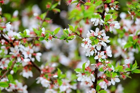 Войлочная вишня в цветах