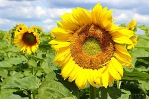 Пчела собирает нектар в поле цветущего подсолнуха