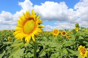 Подсолнух цветёт по направлению к солнцу