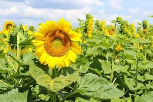 Подсолнух цветёт в поле
