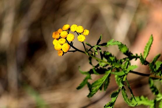 Пижма цветёт в октябре