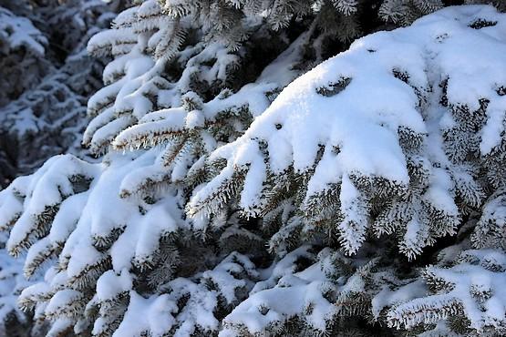 Снег на ветвях елей