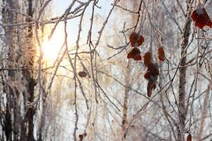 Ветви берёз переливаются в инее на солнце