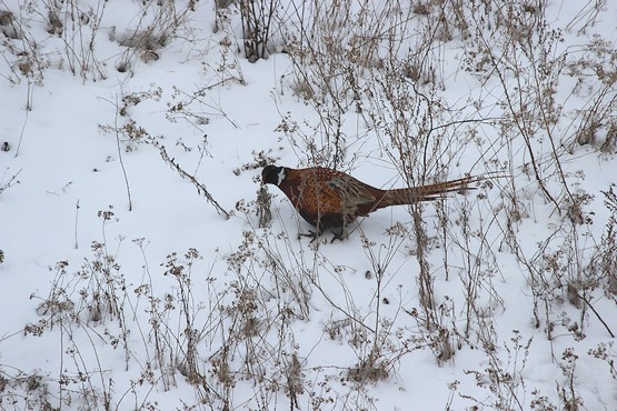 Белая сова на шее у фазана