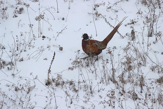 Фазан гуляет в поле зимой