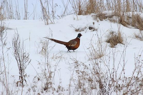 Фазан прогуливается по степи зимой