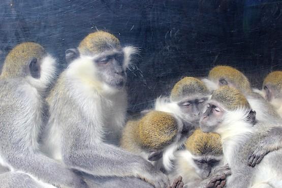 Фотография обнимающихся обезьян