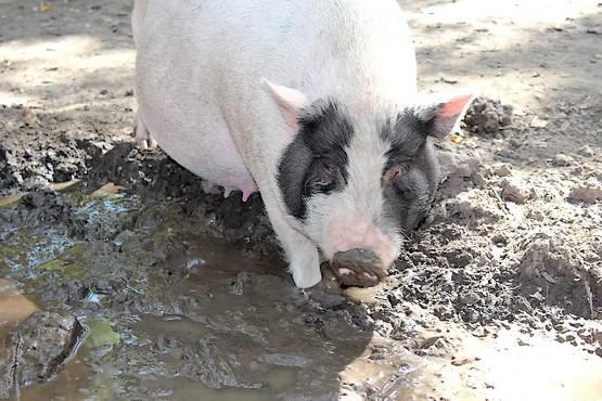 Фотография свиньи в грязи