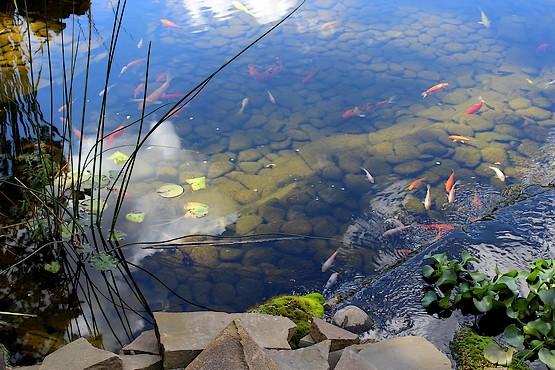 Пруд с золотыми рыбками