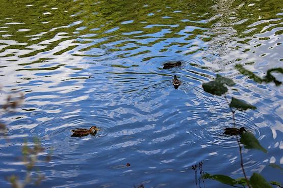 Утки в озере