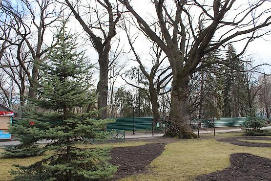 Вековые дубы в парке Шевченко